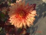 crizantema portocalie