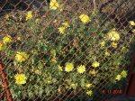crizanteme dupa gratii