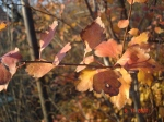 frunze ruginii