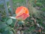 boboc trandafir