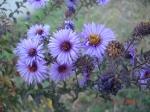 crizanteme mov