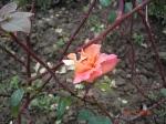 trandafir zburlit