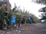 plantatie de banane