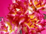 Hot_Pink_Roses_Bunch_Of_Flowers