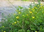 flori pe malul apei