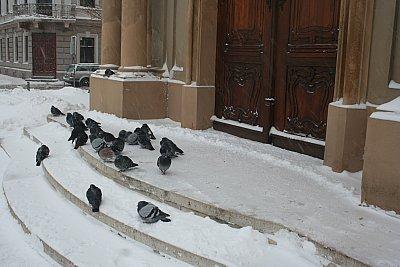 porumbei in ninsoare