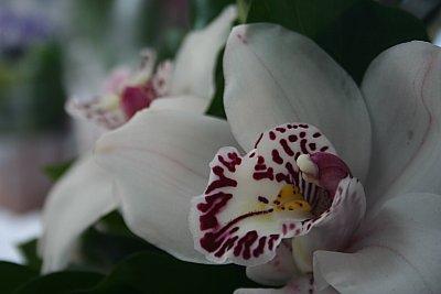 orhidee cu vedere oblica