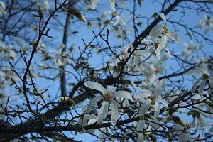 magnolii pe cer