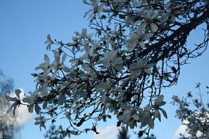 ploaie de magnolii