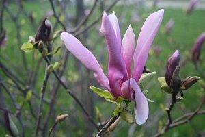 inceput de magnolie