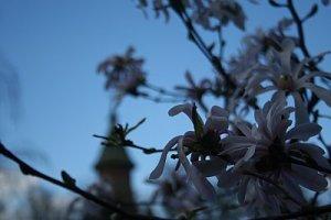 magnolii si-o cupola
