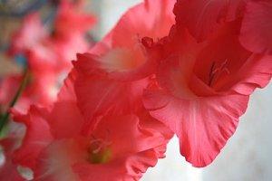 gladiole roz